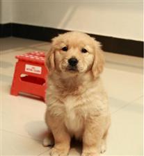 金毛幼犬一只,谁要(正规博彩官方网址宝华驾校旁)