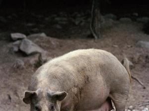 他救过好几个人,被救者都转头就走;他遇难了,连猪都帮他