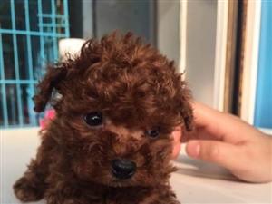 超级可爱的小体泰迪熊宝宝,城市家庭喂养的首选