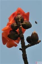木棉花(拍摄点珠海度假村酒店及珠海的大街小巷)