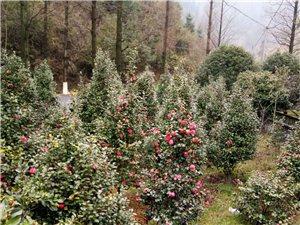 急售 一批茶花树和桂花树苗