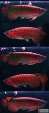 安溪龙鱼 身形健壮色彩艳丽游姿优雅大方 雍容华贵具有王者风范