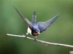 春天 燕子回来了,在窗外的房檐下飞来飞去,像是在寻找筑巢的地方。