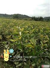 广西灵山优源果苗繁育基地
