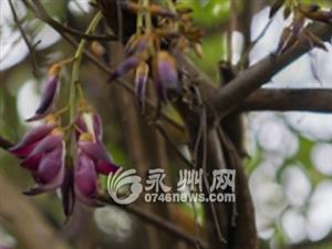 东安:一株巨大禾雀花古藤花开迎春