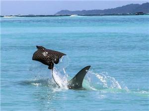 """罕见抓拍:鲼鱼遭鲨鱼追杀 出水求生变""""飞鸟""""(组图)"""