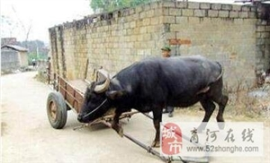 主人残疾老水牛自己车套下地,实在太感人了!
