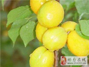 荷兰香杏,新疆小白杏,杏树苗