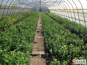 寻乌县有序推进柑橘恢复种植,已出圃的近30万株脱毒柑橘苗木均在假植棚进行了袋装繁育