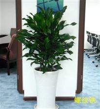 绿色植物园――华亮园艺邀您一起欣赏他们家的植物精灵~螺纹铁