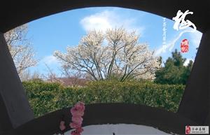 狼眼看世界 雪山梅园 梅花(3)