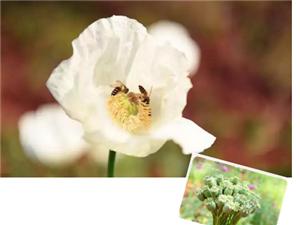 建水县公安局关于严禁种植毒品原植物罂粟、大麻的通告