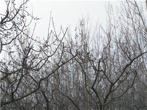 甘城—澳门美高梅官网杏树!