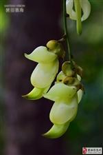 【原创】河婆的禾雀花盛开