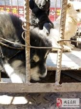 这是一只什么狗,有说哈士奇有说是阿拉斯加还有说土狗的!