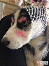网友把哈士奇打扮成狼外婆,你们说主人把它带出去还能带回来吗?