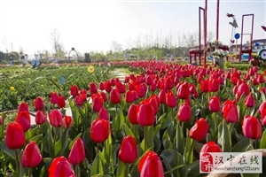 清明节放假三天,带上家人去看郁金香