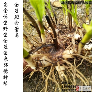 3000斤大别山纯紫花三叉大白芨茎块苗出售