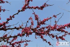 【箐箐庄园】紫荆盛放,盎然春意