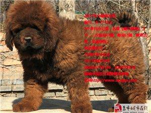买藏獒小藏獒到藏獒发源地青海西宁獒响中国原生藏獒繁育基地