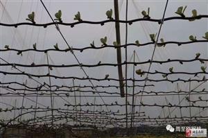 陕西省十佳农民专家吕岩老师教你猕猴桃抹芽技术