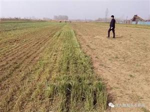澳门银河官网虞城县稍岗镇数十亩麦苗被毁