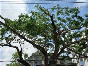 如果先锋城大门对面这棵38年的老姐妹树被砍了,你怎么看?