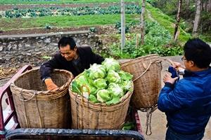 陕西农民种菜花卖一毛一斤基本无钱赚