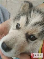 明明是哈士奇亲生的小奶狗,养了一段时间后感觉不太对劲!