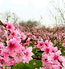 这个周末,带上家人一起到临潼赏桃花