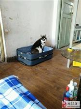 网友买回一只很怂的哈士奇,怀疑它受到过宠物店的虐待!