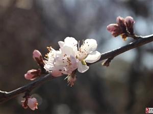 人间最美四月天,杏花怒放美如仙