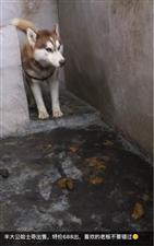 网友家哈士奇走丢了,几个月后却发现朋友圈有人在卖她的狗?