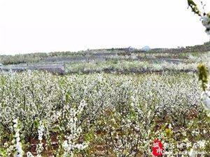 枣庄山亭:樱桃花正浓 十里飘香 万里雪飘