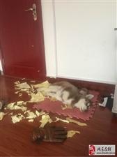 大神告诉你关于哈士奇你不知道的事:哈士奇为什么喜欢撕纸?