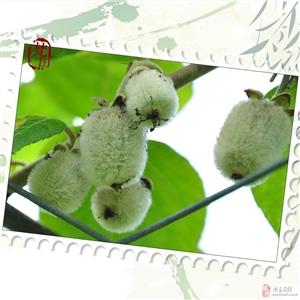 99.9%的果农朋友都不知道的猕猴桃新品种...
