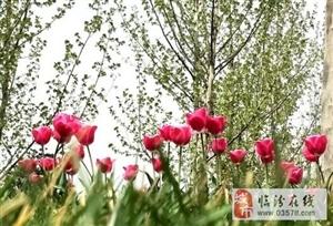 临汾:人间四月芳菲色 花开最盛郁金香