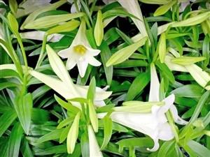 """百合一般白色,所以叫""""白百何"""",""""凡""""是好看的花,都有绿叶陪衬~"""