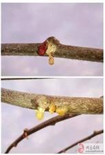 想知道猕猴桃伤流和溃疡病的区别吗?小编来告诉你!
