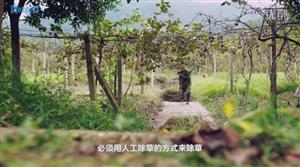 怎样包装猕猴桃之中国扶贫基金会,竟用猕猴桃去扶贫