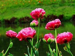【郁金香】迷人的郁金香好像受到了太阳的召唤,绽开了灿烂的笑脸