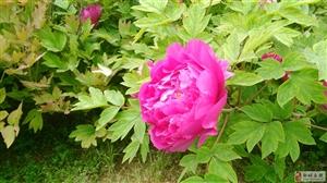 姹紫嫣红开遍,春天已走到尾声,谷雨之时,牡丹花盛开。
