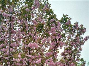 涡阳县牌坊镇卫生院的樱花,美极了!