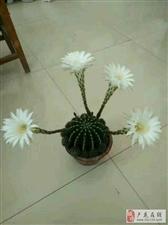 美丽的仙人球花