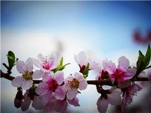 春天的义县――十亩桃花