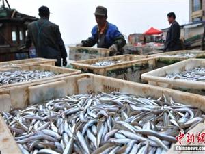青岛面条鱼获丰再现鱼满舱日上岸10几万斤