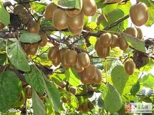 猕猴桃施肥存在的问题,果农你中招了吗?