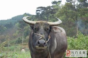 杀牛竟遇牛下跪,生个儿子牛眼睛