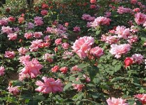 郑州第二十三届月季花展开展1200余种月季等您来赏