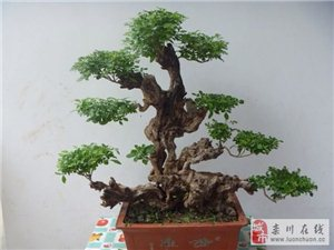 栾川遍地都有的荆条树制作盆景竟然这么漂亮!